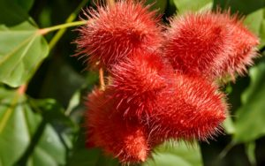 What is Annatto? A Natural Food Coloring Exposed