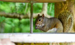 Comment construire un enclos anti-écureuil pour votre jardin de légumes