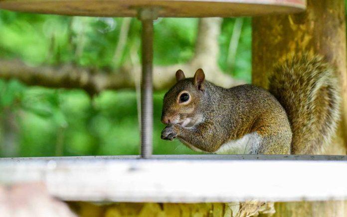 Comment construire un enclos anti-écureuil pour votre potager